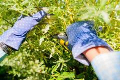 Mani con i guanti del giardiniere che fanno il lavoro di manutenzione, Th di potatura Fotografia Stock Libera da Diritti