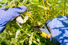 Mani con i guanti del giardiniere che fanno il lavoro di manutenzione, Th di potatura Immagine Stock Libera da Diritti