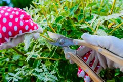 Mani con i guanti del giardiniere che fanno il lavoro di manutenzione, Th di potatura Immagine Stock