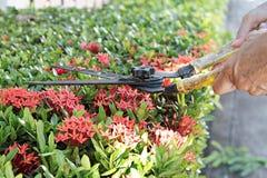 Mani con i tagli di giardino che tagliano una barriera in giardino Fotografie Stock