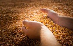 Mani con il cereale del grano Fotografia Stock
