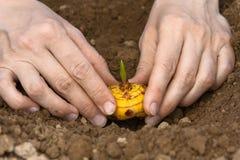 Mani con la lampadina di gladiolo pronta alla piantatura fotografie stock libere da diritti