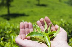 Mani con le foglie di tè Fotografie Stock Libere da Diritti