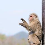 Mani d'applauso del macaca giapponese Fotografie Stock