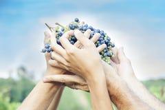 Mani degli agricoltori che mostrano di recente l'uva Immagine Stock