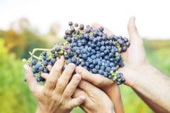 Mani degli agricoltori che mostrano di recente l'uva Fotografie Stock