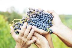 Mani degli agricoltori che mostrano di recente l'uva rossa Fotografie Stock Libere da Diritti