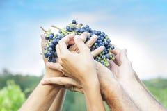 Mani degli agricoltori che mostrano di recente l'uva rossa Fotografia Stock Libera da Diritti