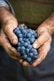 Mani degli agricoltori con il mazzo dell'uva Immagini Stock Libere da Diritti
