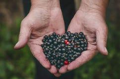 Mani degli agricoltori con il ribes nero ed alcun ribes rosso Bacche organiche e fresche Alimento crudo a disposizione dell'uomo Fotografia Stock Libera da Diritti