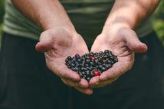 Mani degli agricoltori con il ribes nero ed alcun ribes rosso Bacche organiche e fresche Alimento crudo a disposizione dell'uomo Fotografia Stock