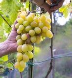 Mani degli agricoltori con le cesoie del giardino e di recente l'uva bianca alla regione di Chianti del raccolto, Toscana, Italia Fotografia Stock