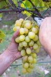 Mani degli agricoltori con le cesoie del giardino e di recente l'uva bianca alla regione di Chianti del raccolto, Toscana, Italia Immagine Stock