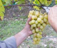 Mani degli agricoltori con le cesoie del giardino e di recente l'uva bianca alla regione di Chianti del raccolto, Toscana, Italia Fotografie Stock