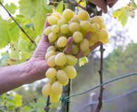 Mani degli agricoltori con le cesoie del giardino e di recente l'uva bianca alla regione di Chianti del raccolto, Toscana, Italia Fotografia Stock Libera da Diritti