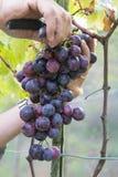 Mani degli agricoltori con le cesoie del giardino e di recente l'uva blu al raccolto, regione di Chianti, Toscana, Italia Fotografie Stock