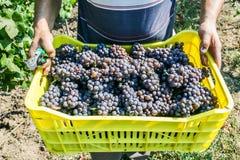 Mani degli agricoltori con produzione appena raccolta dell'uva Fotografia Stock