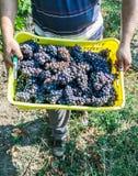 Mani degli agricoltori con produzione appena raccolta dell'uva Immagine Stock Libera da Diritti