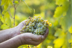 Mani degli agricoltori del raccolto dell'uva che tengono l'uva Fotografia Stock