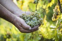 Mani degli agricoltori del raccolto dell'uva che tengono l'uva Fotografia Stock Libera da Diritti