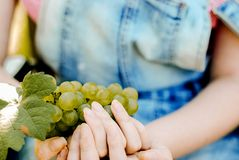 Mani degli agricoltori del raccolto dell'uva con l'uva appena raccolta fotografie stock