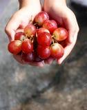 Mani degli agricoltori del raccolto dell'uva con l'uva appena raccolta Fotografia Stock