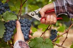 Mani degli agricoltori durante il raccolto dell'uva Fotografie Stock