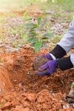 Mani degli agricoltori per piantare le piantine del caffè in piantagioni Fotografia Stock Libera da Diritti