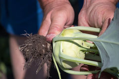 Mani dei giardinieri che raccolgono cavolo rapa nel giardino fotografia stock