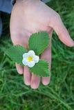 Mani del fiore della fragola Fotografia Stock