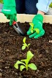 Mani del primo piano in guanti che piantano germoglio Immagine Stock Libera da Diritti