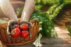 Mani del raccolto del pomodoro dell'agricoltore con il pomodoro Fotografie Stock Libere da Diritti