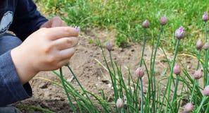 Mani del ragazzino che toccano il germoglio di fiore porpora della erba cipollina Immagini Stock
