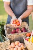 Mani dell'agricoltore che mostrano tre pomodori Immagine Stock Libera da Diritti