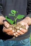 Mani dell'agricoltore con la pianta Immagini Stock