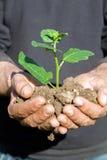 Mani dell'agricoltore con la pianta Fotografie Stock Libere da Diritti