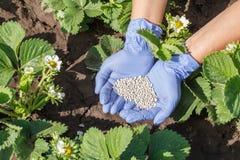 Mani dell'agricoltore in guanti di gomma che danno fertilizzante chimico al youn Fotografia Stock