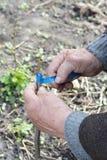 Mani dell'uomo anziano che innestano albero da frutto Per gradi Innestando gli alberi - come innestare un albero Fotografia Stock