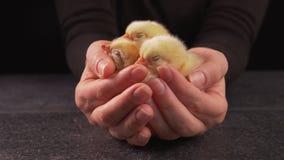 Mani della donna che tengono i polli neonati di sonno stock footage