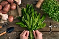 Mani della donna che tengono le foglie organiche fresche degli spinaci Le verdure, cipolla, aglio, patate, spinaci, lattuga va su Immagine Stock Libera da Diritti