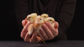 Mani della donna che tengono un mazzo di pollo lanuginoso neonato video d archivio