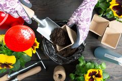 Mani della donna del giardiniere che mettono suolo in un vaso di fiore di carta Piantatura del fiore della pansé della molla Conc fotografia stock