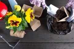 Mani della donna del giardiniere che mettono suolo in un vaso di fiore di carta Piantatura del fiore della pansé della molla Conc fotografie stock