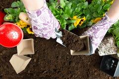 Mani della donna del giardiniere che mettono suolo in un vaso di fiore di carta Piantatura del fiore della pansé della molla Conc immagini stock