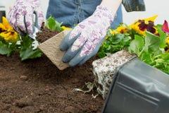Mani della donna del giardiniere che mettono suolo in un vaso di fiore di carta Piantatura del fiore della pans? della molla Conc fotografia stock libera da diritti