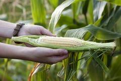 Mani della donna dell'agricoltore che tengono cereale verde fresco nel campo di grano Immagini Stock Libere da Diritti