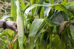 Mani della donna dell'agricoltore che tengono cereale verde fresco nel campo di grano Fotografia Stock Libera da Diritti