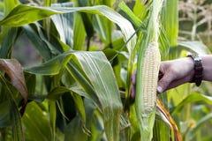 Mani della donna dell'agricoltore che tengono cereale verde fresco nel campo di grano Fotografie Stock Libere da Diritti