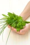Mani della giovane donna che tengono le erbe fresche, basilico, erba cipollina, salvia Immagini Stock