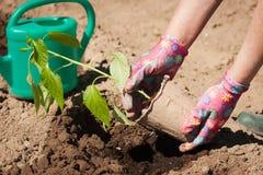 Mani della pianta femminile di Hold Seedling Young dell'agricoltore di pepe Immagine Stock